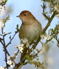Nightingale, Salthouse Heath, Norfolk, May 2006 (Steve Gantlett).